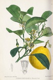 Bergamot Orange, 19th Century Photographic Print by King's College