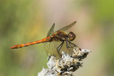 Male Common Darter Dragonfly Print by Adrian Bicker