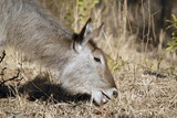 Waterbuck Female Photographic Print by Peter Chadwick