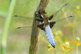 Male Broad-bodied Chaser Dragonfly Posters by Adrian Bicker