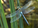 Male Emperor Dragonfly Photographic Print by Adrian Bicker
