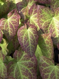 Epimedium Perralderianum Leaves Prints by Dr. Jeremy Burgess