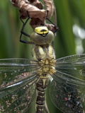 Male Southern Hawker Dragonfly Photographic Print by Dr. Jeremy Burgess