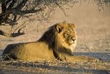 African Lion Male Fotografisk tryk af Tony Camacho