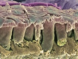Large Intestine Lining, SEM Photographic Print by Steve Gschmeissner