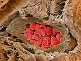 Coronary Artery, SEM Photographic Print by Steve Gschmeissner