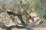 Cheetah Climbing Off a Tree Photographic Print by Tony Camacho