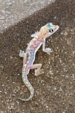 Web-footed Gecko Poster by Tony Camacho