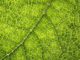 Gunnera Plant Leaf Veins Photographic Print by Dr. Jeremy Burgess
