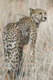 Cheetah with a Radio Collar Photographic Print by Tony Camacho