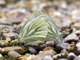 Green-veined White Butterflies Mating Posters by Dr. Jeremy Burgess