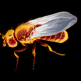 False-col SEM of Fruit Fly Photographic Print by Dr. Jeremy Burgess
