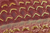 Inner Ear Hair Cells, SEM Posters by Steve Gschmeissner