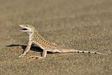 Namib Sand-diving Lizard Posters par Tony Camacho