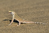 Namib Sand-diving Lizard Posters by Tony Camacho