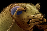 Fungus Weevil Head, SEM Photo by Steve Gschmeissner