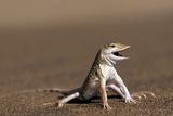Namib Sand-diving Lizard Affiche par Tony Camacho