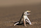 Namib Sand-diving Lizard Fotografisk tryk af Tony Camacho