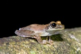 Basin Treefrog Photographic Print by Tony Camacho