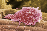 Macrophage White Blood Cell, SEM Posters by Steve Gschmeissner