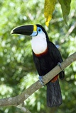 White-throated Toucan Photographic Print by Tony Camacho