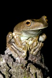 Rusty Treefrog Male Posters by Tony Camacho