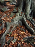 Tree Roots of a Beech Tree Photographic Print by Adrian Bicker