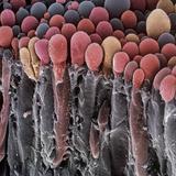 Choroid Plexus Secretory Cells, SEM Premium Photographic Print by Steve Gschmeissner