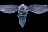 Biting Midge, SEM Posters by Steve Gschmeissner