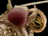 Moth Eye And Proboscis, SEM Photographic Print by Steve Gschmeissner