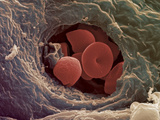Liver Capillary, SEM Photographic Print by Steve Gschmeissner