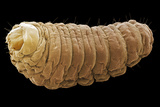 Mexican Jumping Bean Moth Larva, SEM Photographic Print by Steve Gschmeissner
