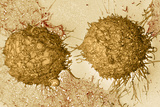 Mitosis, SEM Photographic Print by Steve Gschmeissner