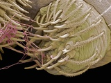 Spider Spinneret, SEM Photographic Print by Steve Gschmeissner