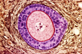 Ovarian Follicle, Light Micrograph Posters by Steve Gschmeissner