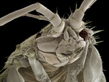 Head of a Freshwater Shrimp, SEM Photographic Print by Steve Gschmeissner