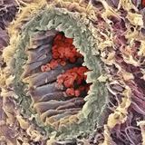 Artery SEM Photographic Print by Steve Gschmeissner