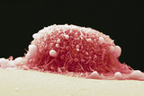 HeLa Cell, SEM Photographic Print by Steve Gschmeissner