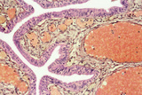 Fallopian Tube Engorged with Blood, LM Prints by Steve Gschmeissner