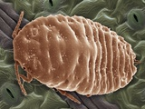 Mealy Bug, SEM Photographic Print by Steve Gschmeissner