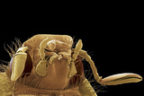 Cockchafer Beetle, SEM Photo by Steve Gschmeissner