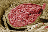 Foetal Blood Vessel, SEM Photographic Print by Steve Gschmeissner