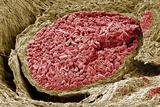 Foetal Blood Vessel, SEM Prints by Steve Gschmeissner