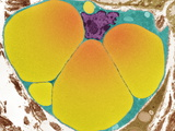 Fat Cell, TEM Photographic Print by Steve Gschmeissner