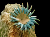 Dog Tapeworm Head, SEM Photographic Print by Steve Gschmeissner