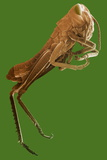 Locust, SEM Photographic Print by Steve Gschmeissner