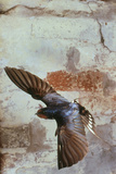 Swallow In Flight Photographic Print by Andy Harmer