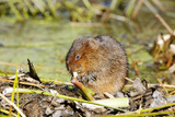 Water Vole Photographic Print by Andy Harmer