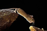 Wood Mouse Leaping Photographic Print by Andy Harmer