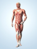Muscular System Photographic Print by Roger Harris